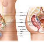 Male genitourinary anatomy