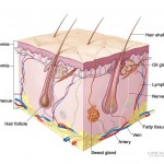 Anatomical cross-sectional drawing of the skin, hair, sweat glands