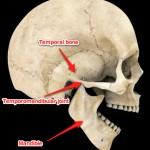 Anatomy of the skull, jaw and temporomandibular joint