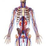 Men's sexual health anatomy